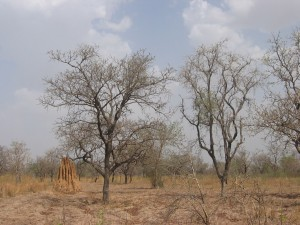 Shea Tree and Dawa Dawa Tree with Ant Mound